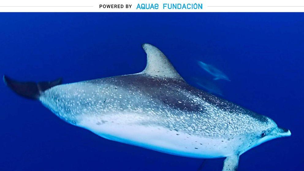 ¿Sobreprotección? Estos delfines cuidan a sus crías durante cinco años