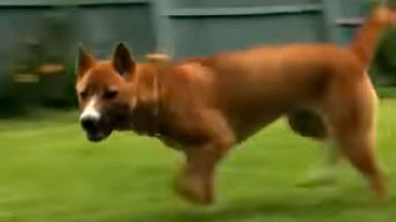 Encuentran ejemplares del perro cantor de Nueva Guinea, que se creía extinto