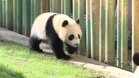 Chulina, la nueva sensación del Zoo de Madrid