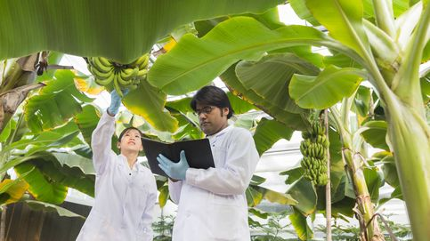 Por qué el 99% de los plátanos está cerca de desaparecer