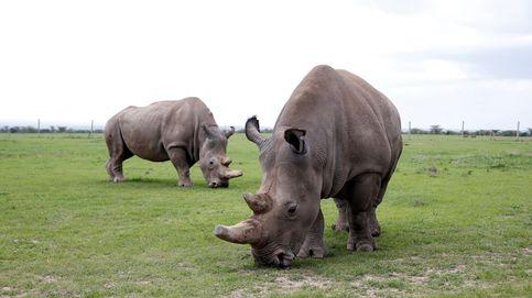 Najin y Patu lloran a Sudan: estos son los dos últimos ejemplares de rinoceronte blanco