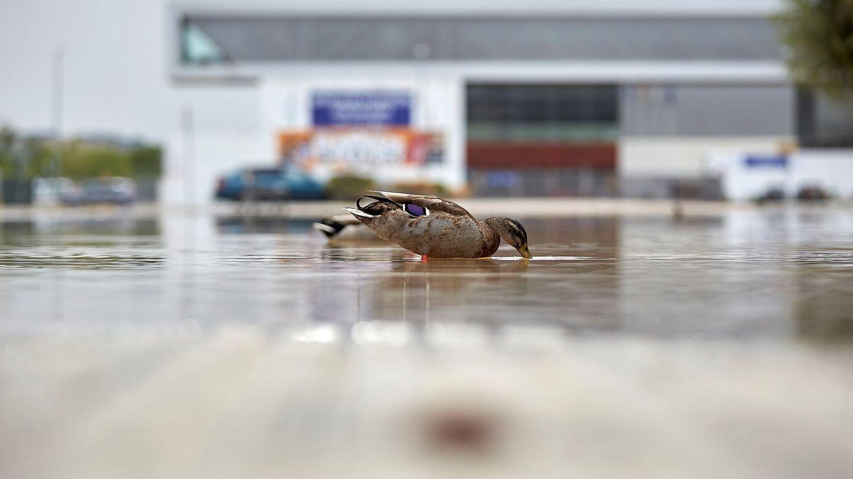 Un pato bebe de un charco de Talavera de la Reina este viernes tras las fuertes lluvias de la semana pasada. Foto: EFE