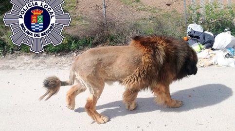 Un perro con apariencia de león siembra el pánico en un pueblo de Murcia