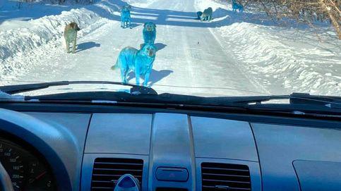 Aparece un grupo de perros azules en una remota región de Rusia