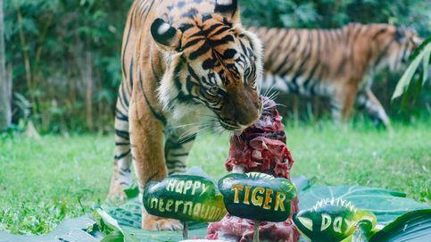 La población de tigres salvajes de Tailandia se duplica en los últimos años