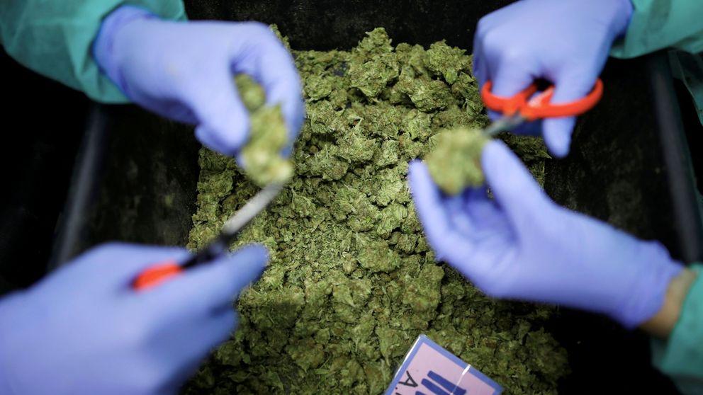 La mayoría del cannabis que se vende en Madrid contiene restos fecales