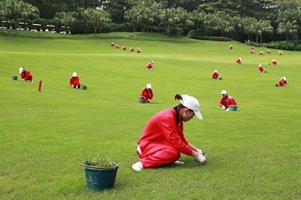 Foto: Caddies tratando la hierba de un campo de golf en China