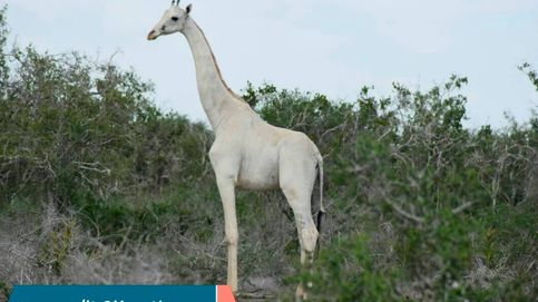 La única jirafa blanca del mundo estará protegida con GPS