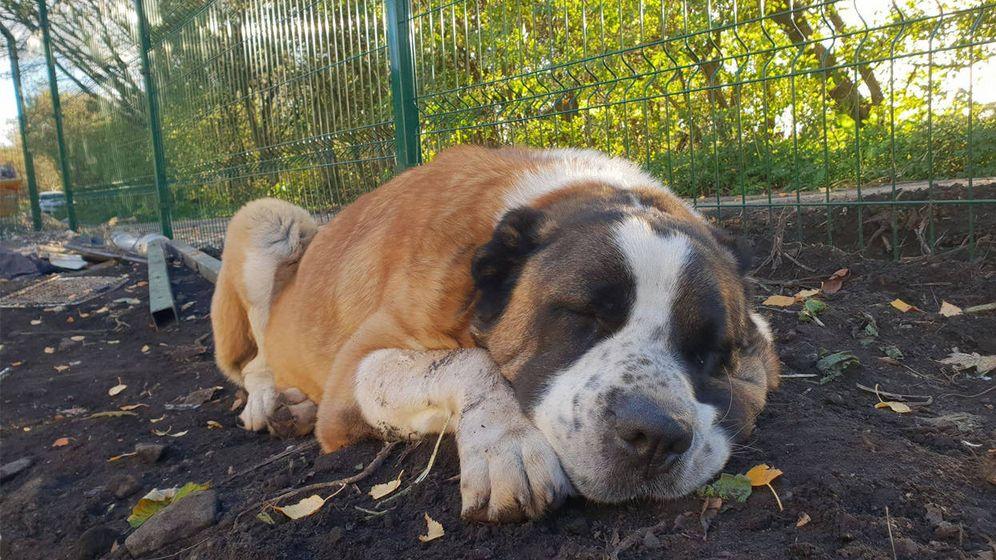 Foto: Winston, un perro siempre leal (Foto: Dogs 4 Rescue)