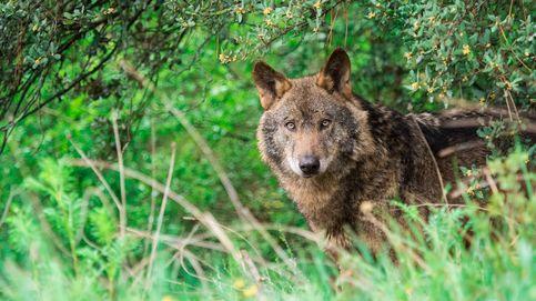 Qué debes hacer si te encuentras con un lobo salvaje