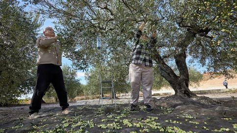 Los brotes en Lleida no son nada para lo que puede ocurrir con la aceituna