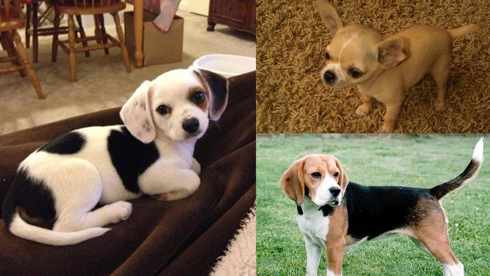 Perros mestizos: cruce de razas que te enamorarán