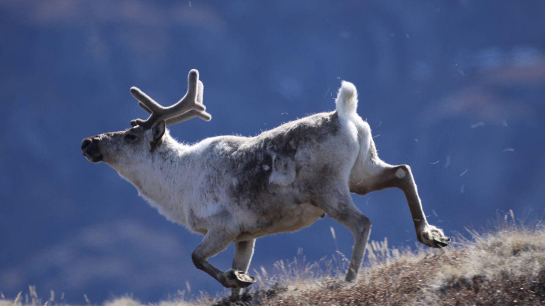 Caribou, una especie de reno (Eric Post, UC Davis)