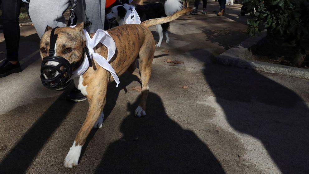 Un hombre es atacado por un pitbull en Madrid cuando miraba un escaparate