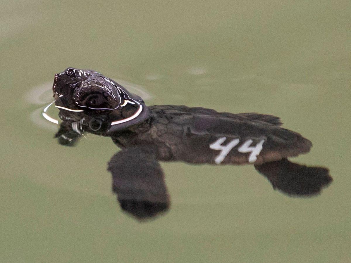 Foto: Una cría de tortuga boba en San Pedro del Pinatar (Murcia)