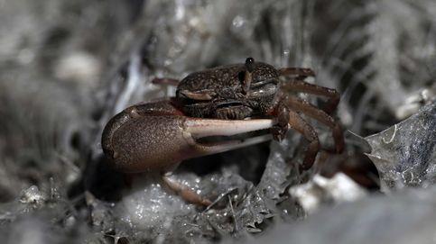 Nuestra única esperanza contra la peste que mata a los cangrejos está en Cataluña