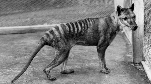 Sale a la luz un vídeo de 22 segundos en el que se ve vivo al último tigre de Tasmania