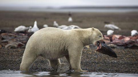 Un archipiélago ruso declara el estado de emergencia por la invasión de osos polares