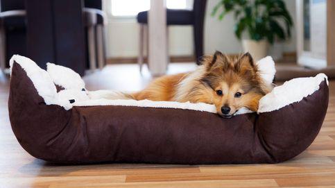 Por qué los perros dan vueltas en círculos o rascan la cama antes de acostarse