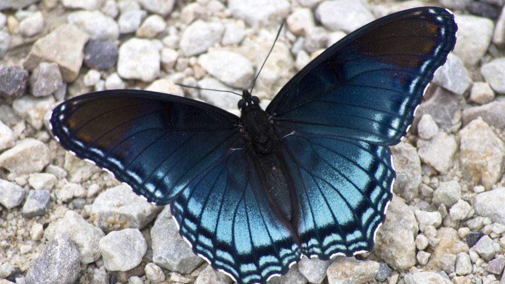La mariposa azul, la gran beneficiada del cambio climático