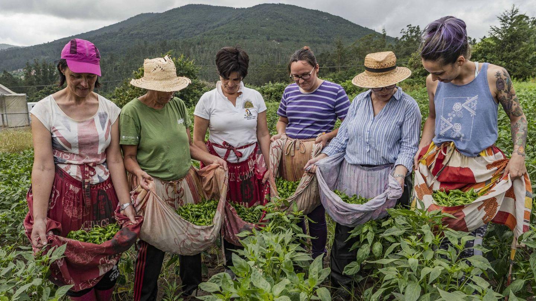 La cosecha de Pimientos de Padrón tras la recogida. (E.G)