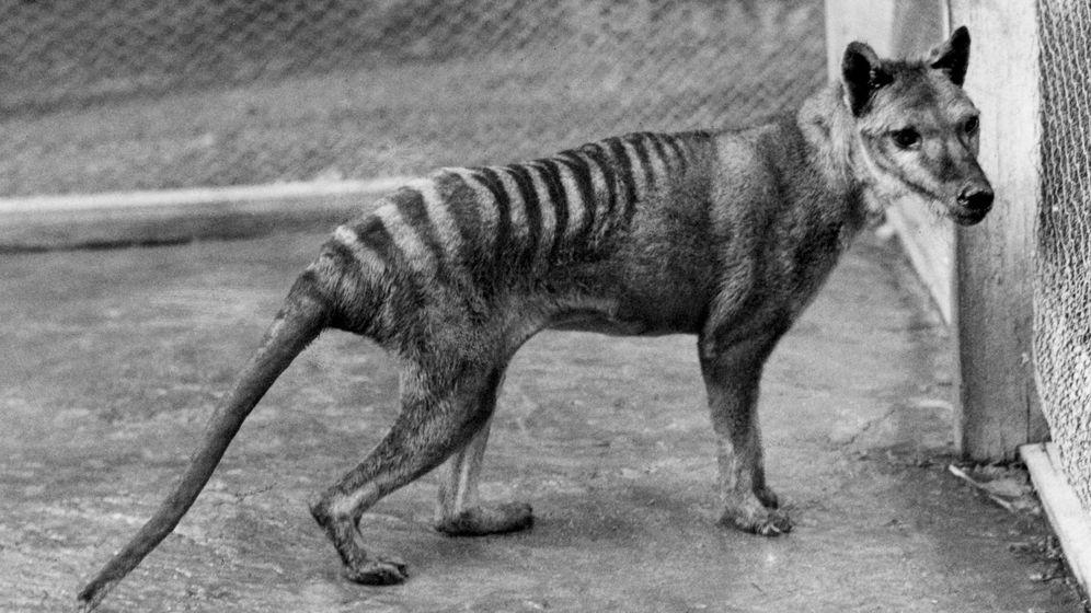 Foto: Imagen de archivo del último espécimen de Tigre de Tasmania conocido. (EFE)