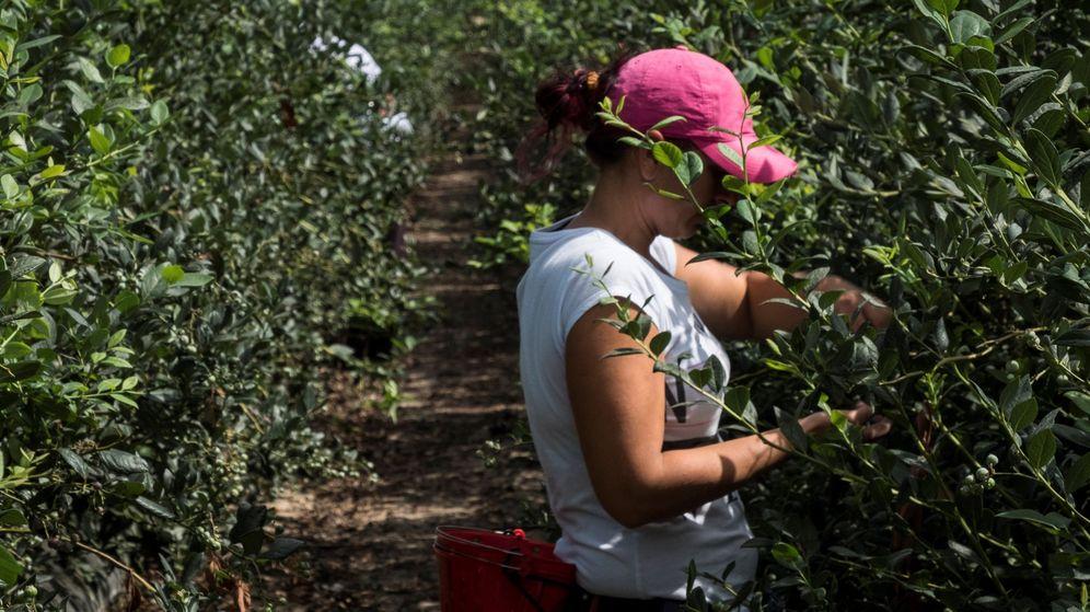 Foto: Una trabajadora durante la recolección de un cultivo en una finca de Huelva