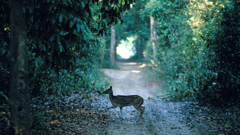 Axis o chital en el Parque Nacional de Chitwan, Nepal. (Andoni Canela)
