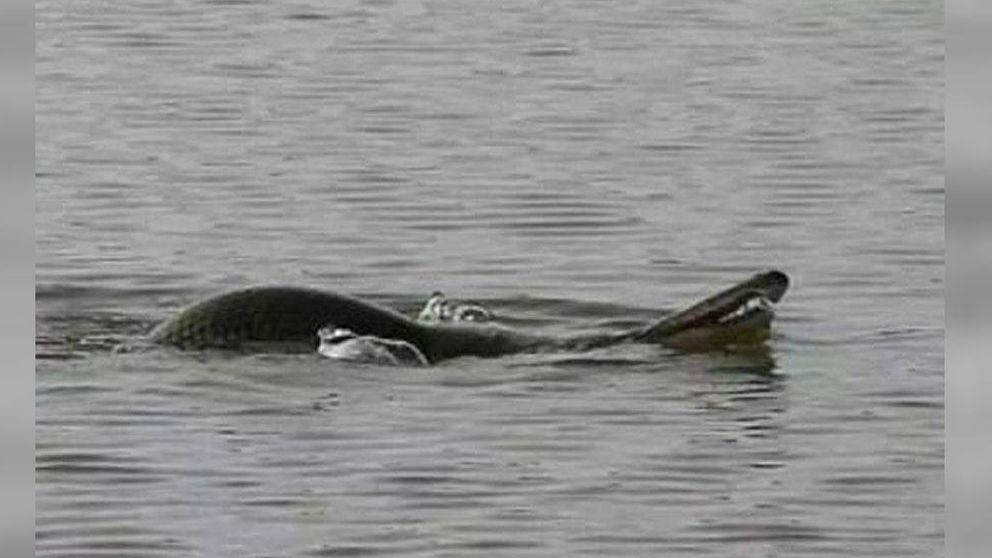 Cuerpo de tortuga, cabeza de serpiente: el milenario pez que atemoriza a China