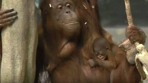 El pequeño bebé de orangután del Zoo Brookfield de Chicago