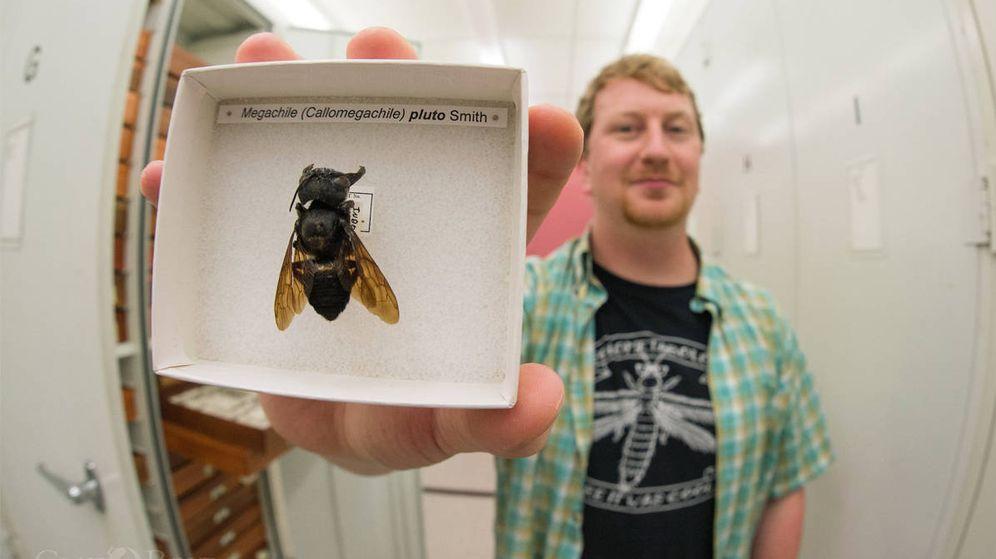 Foto: El fotógrafo Clay Bolt con un ejemplar de la abeja más grande del mundo (Foto: Twitter)