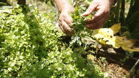 ¿Sabías que hay un día internacional de las personas que odian el cilantro?