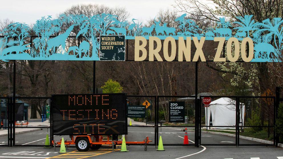 El coronavirus se extiende en el zoo del Bronx: ya hay 5 tigres y 3 leones infectados