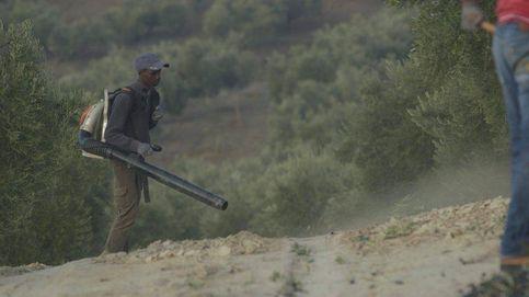 Temporeros: la miseria tras el negocio del aceite de oliva