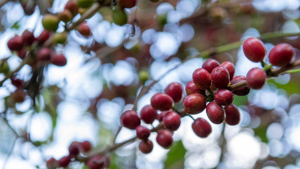 Las plantas de café silvestre están en peligro y el que tomas todas las mañanas, también