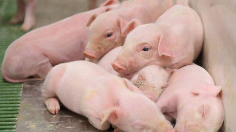 Los ganaderos plantean sacrificar 1 de cada 5 lechones ibéricos por la caída de la demanda