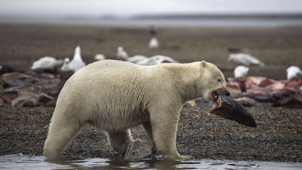 Foto: Los osos polares tienen atemorizados a los habitantes de Novaya Zemlya (EFE/Jim Lo Scalzo)