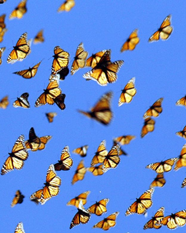 Foto: Las mariposas migratorias 'huelen' su camino en lugar de mirarlo