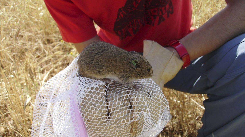 El tratamiento con rodenticidas (conocidos comúnmente como raticidas) para acabar con la plaga de topillos que se produjo en Castilla y León entre 2006 y 2007 pudo favorecer la propagación de la tularemia, enfermedad infecciosa que afecta en especial a roedores, liebres y conejos, pero también a humanos. (EFE)