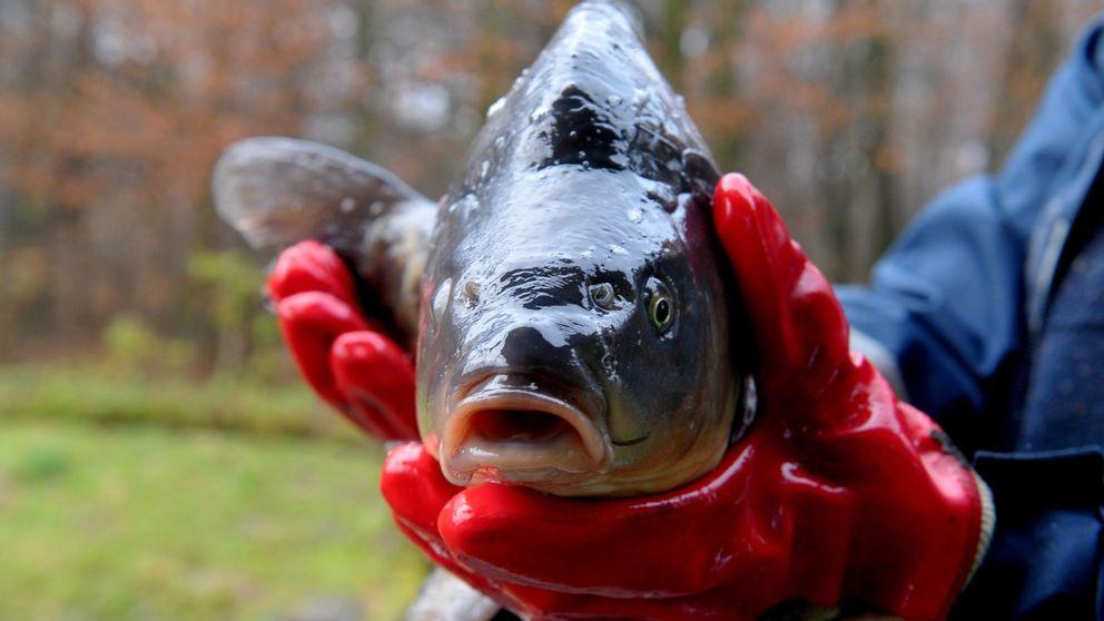 Qué comen los peces que te comes (y por qué es un grave problema medioambiental)