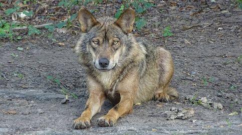 El lobo, un grave problema de convivencia social