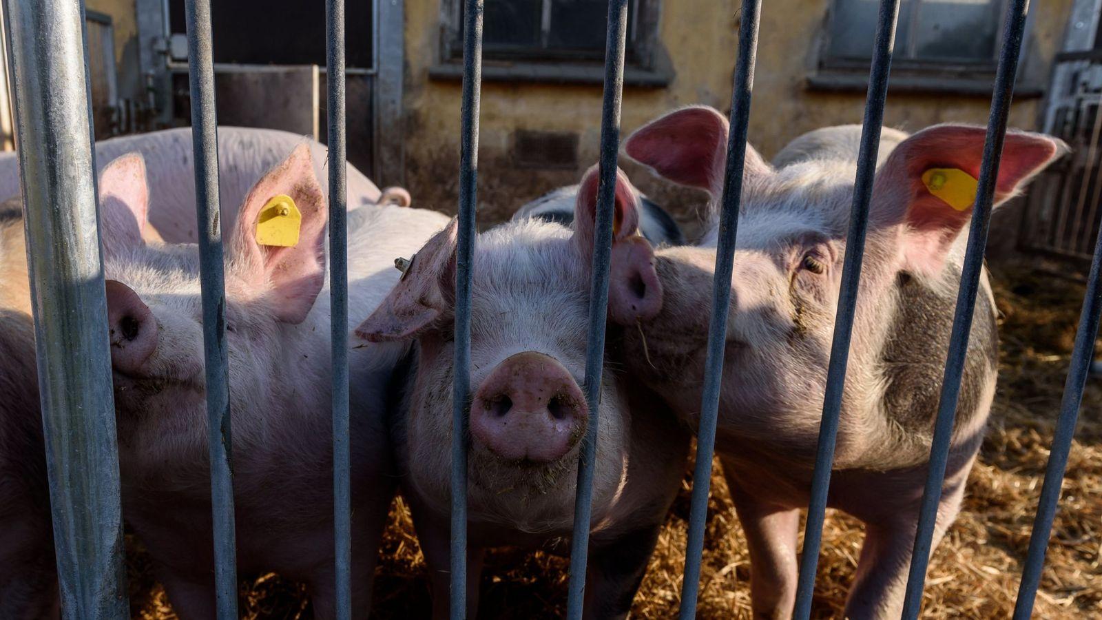 Foto:  Vista de cerdos en un cobertizo de una granja de cerdos. (EFE)