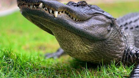 Un caimán arrebata la caña de pescar a un niño de siete años en Florida
