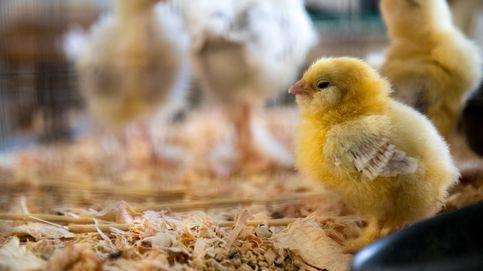 El lado 'oscuro' de la carne de pollo que debes conocer