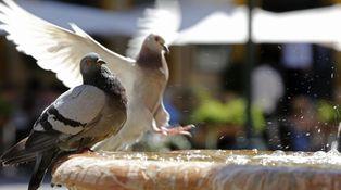 ¿Por qué detestamos a las palomas callejeras?