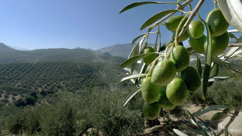 España, el mayor exportador de aceite de oliva en EEUU y Japón