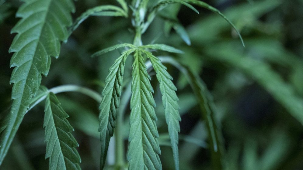Foto: Imagen de archivo de una planta de marihuana. (EFE)