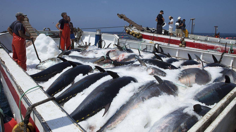 Foto: Atún rojo capturado en una almadraba de Cádiz. (Foto: Petaca Chico)