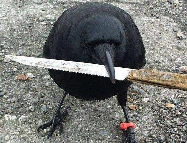 Foto: Canuck, con el cuchillo que robó a la policía en su pico. (Facebook)