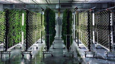 Cultivar trigo en estanterías: La revolución de la agricultura que está brotando en Barcelona